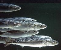 baitbox-pike-bait-mackerel