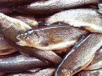 baitbox-pike-bait-trout